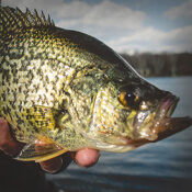 Panfish Attractants & Cures
